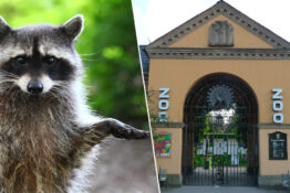 Wild Racoon Breaks Into Zoo And Zookeepers Have To Let Him Stay